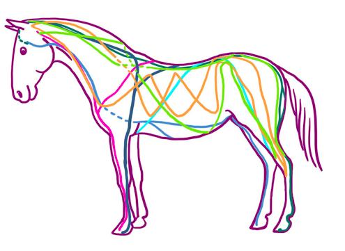 Hestens bindevæv og fascielinjer