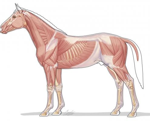 Hesten muskler